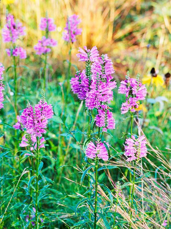 Obedient Plant  Use obedient plant's pink or white spikes to create drama and form in your bouquets. This easy-growing wildflower earned its moniker because you can bend and twist the individual flowers to face different directions.  Zones 2-8  Learn more about growing obedient plant.