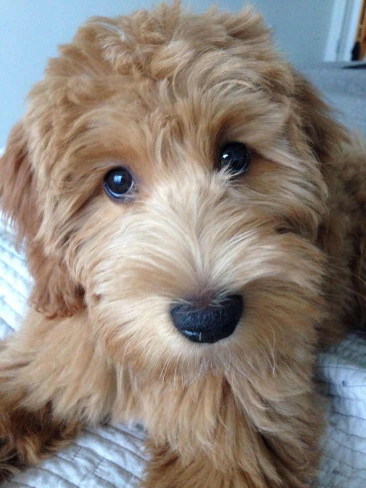 Whiskey the Goldendoodle!