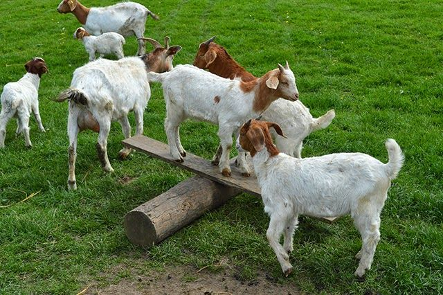 A Visit to Isle of Man Goats ~ Lovely Greens