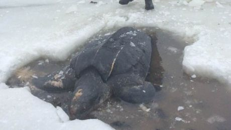 Leatherback turtle that washed up in Cape Breton died of starvation