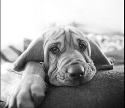Bloodhound Dogs| Bloodhound Dog Breed Info & Pictures | petMD