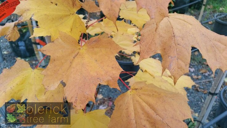 Acer platanoides – Norway Maple – Purchase Bare Rooted Trees Online