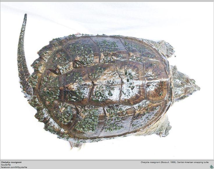 Tortuga Chelydra rossignonii. 02.00 - Descripción