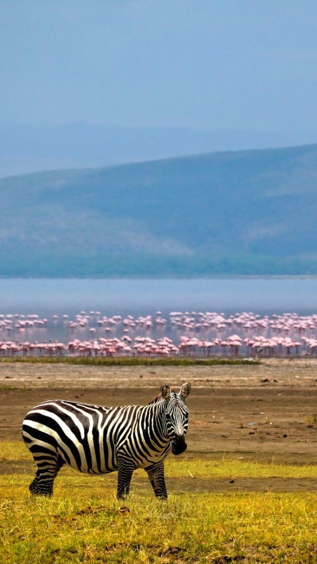 640x1136 Обои зебра, африка, фон, озеро, фламинго