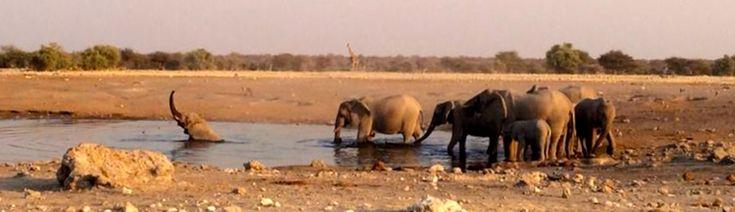 Elephants bathing, safari at the Etosha National Park - Namibia, Africa