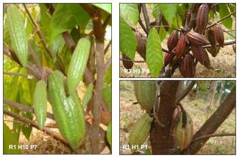 Keragaman dalam populasi hibrida kakao. (Foto: Cici Tresniawati)