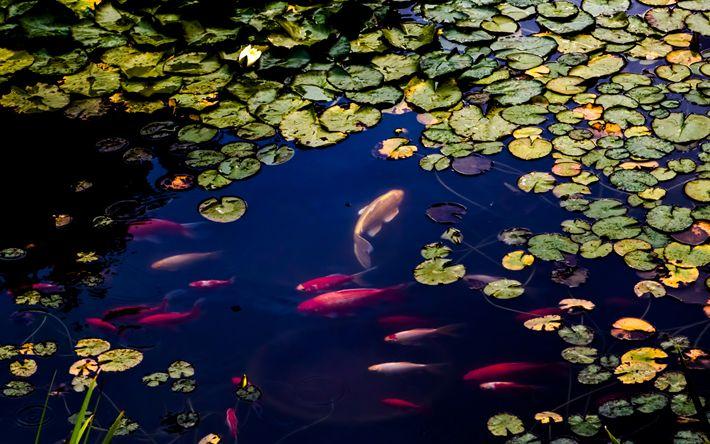 壁紙をダウンロードする 池, 鯉魚, Cyprinus rubrofuscus, アムール鯉, 鯉の泳ぐ鯉