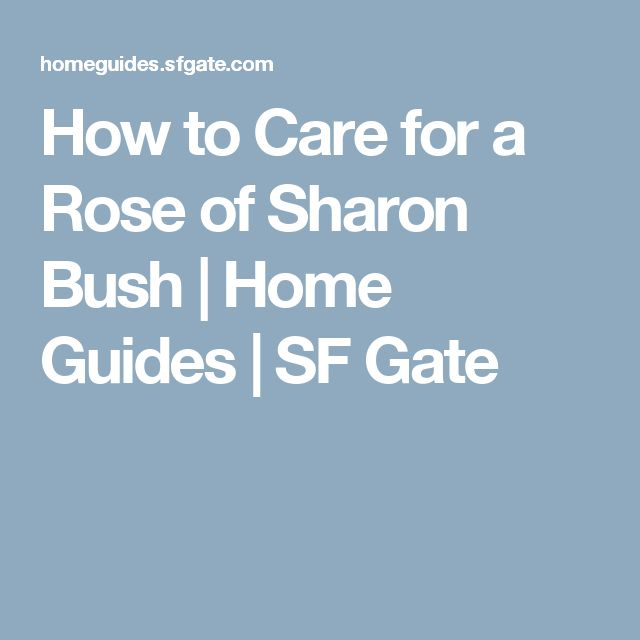How to Care for a Rose of Sharon Bush   Home Guides   SF Gate
