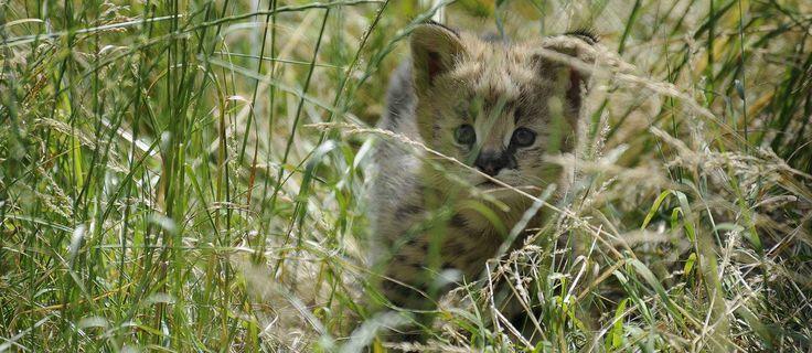 De pasgeboren serval laat zich, door het hoge gras heen, steeds vaker zien. Het geslacht is nog onbekend, moeder is Jina en vader Titus. Servals zijn middelgrote katten met opvallend lange oren en poten. Je vindt ze naast de Afrikaanse Savanne.