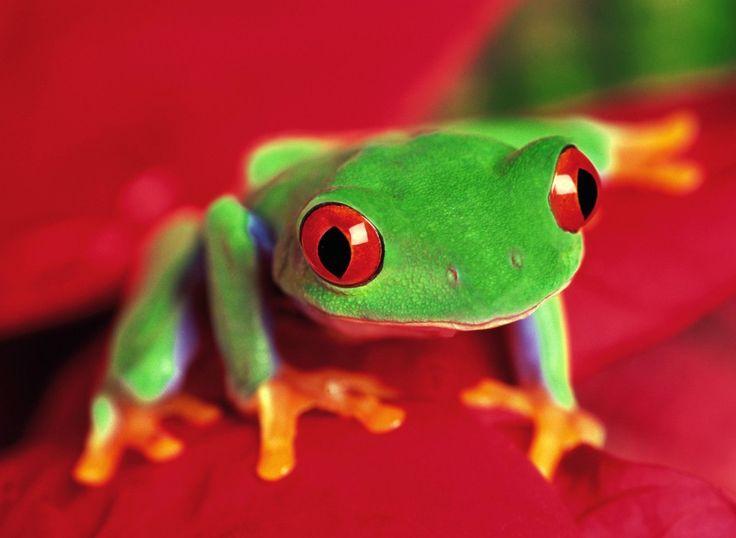 В природе ничего не устроено просто так, и яркая окраска - это сигнал об опасности, недвусмысленное предупреждение. Эти малышки имеют разную окраску, - зеленую, ядовито желтую, ярко оранжевую, и даже синюю, и иногда они окрашены сразу несколькими цветами.