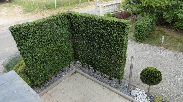 haie de charmille carpinus betulus ht 2.50 lg 20 cm