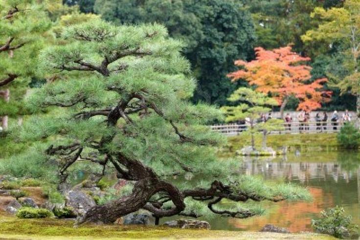 Twisted pine tree in japanese zen garden japanese zen for Japanese garden trees