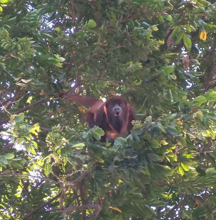 Monos Aulladores Valledupar, Colombia.  Ruta Guacoche.  Provincia Hostal