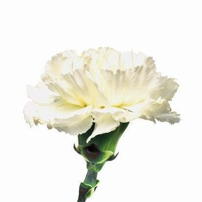 White Carnations | White carnation flower pictures | Trees and Flowers Pictures