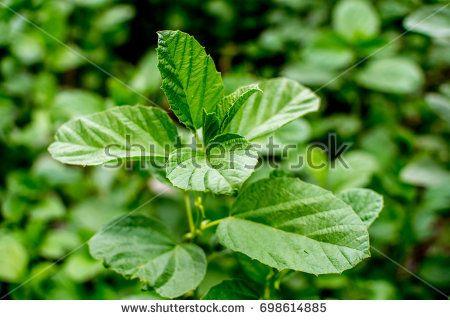Medicinal Plan Psoralea Corylifolia also called Bavanchiyani in India