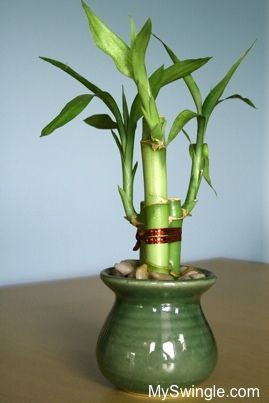 how to grow bamboo in the house