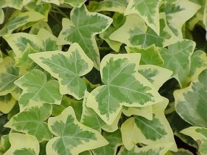 Hedera Ivy – Climbing or trailing Part sun – shade very cold tolerant many colors, shapes and sizes.Hedera Helix, Favorite Plants, Ivy Hedera, Helix Gold, Gardens Goodies, English Ivy, Hedera Gold, Gold Child, Child English