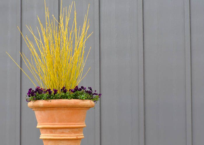 Best 25 Winter Trees Ideas On Pinterest: Best 25+ Yellow Twig Dogwood Ideas On Pinterest