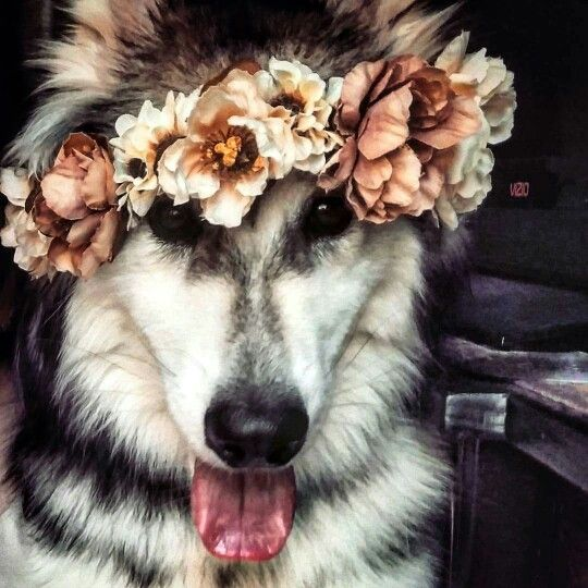 Wolamute (timber wolf and malamute), boho dog with flower crown