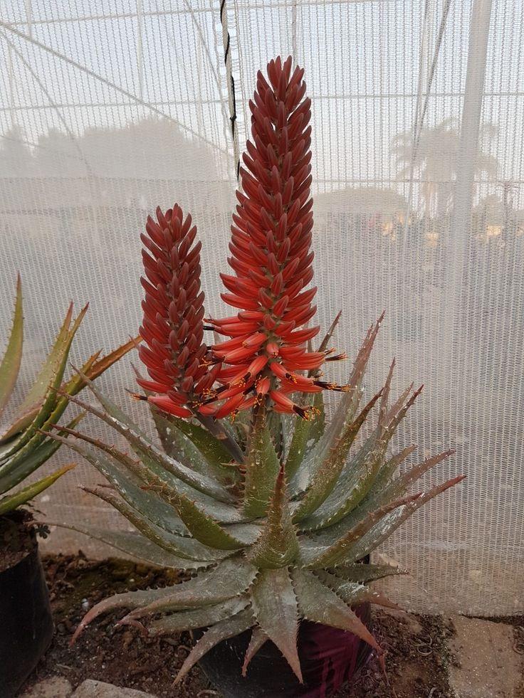 Aloe hybrid in flower  Johan's hybrids  July 2017