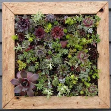 Vertical gardens are a great way to green up walls and fences..  The vertical gardens are designed by horticulturist Gayle Zimmerman    plant box measures 11.5 X 11.5 x 2-inches- kit includes 10 Hens, Chicks succulents, and20 Sedums. Instructions included.    Vertical gardens make a great gift for garden friends, apartment dwellers, new brides, gardeners in urban environments or for your garden self.    Hang on on the patio, the balcony, in view of the kitchen sink, in your outdoor entry.