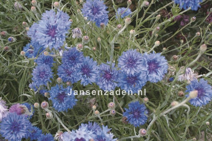 Korenbloem 'Blue'