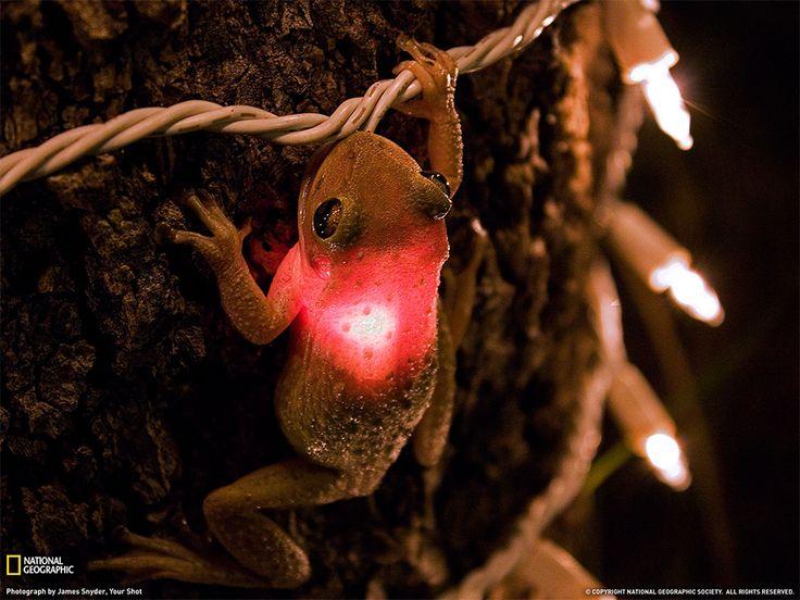 Rana arboricola, Florida Fotografia di James Snyder