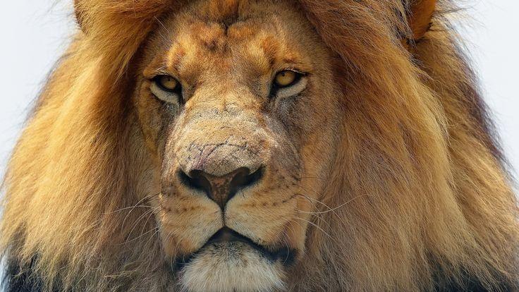 хищник, морда, лев, грива 1920 x 1080
