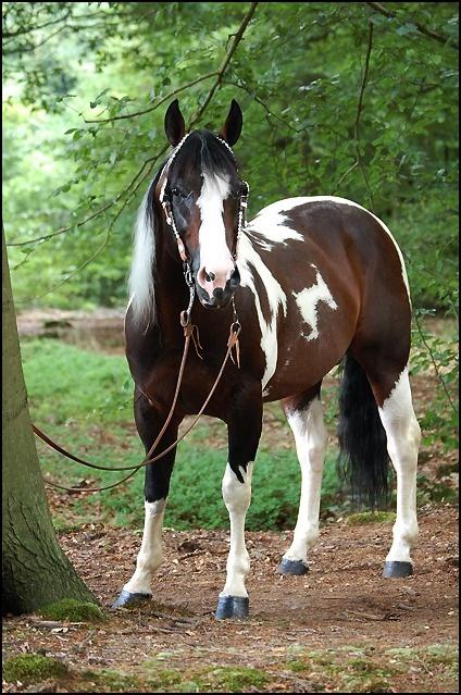 American Paint Horse stallion Commander Riminic