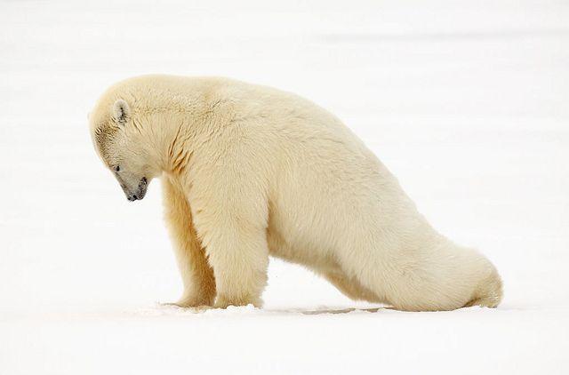 Morning yoga stretch, Polar bear - Kaktovik - Alaska by Impisi, via Flickr