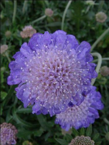 Scabiosa columbaria (Pincushion Flower)
