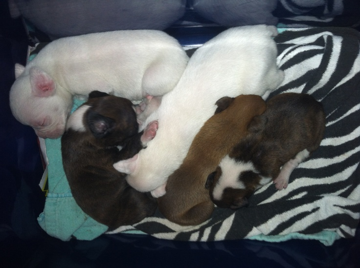 Boxer pups!! For Sale!!