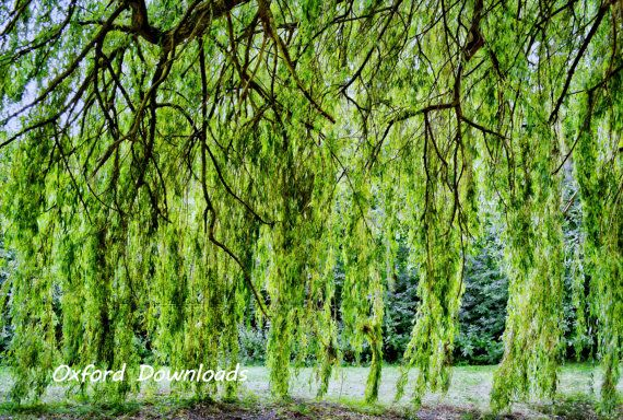 Willow Tree Printable Photograph Printable by OxfordDownloads