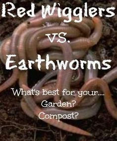 red wigglers vs earthworms. Learn the difference so you can better use them in vermicompost and your garden! Found at www.PintSizeFarm.com