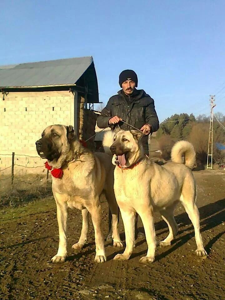 Kangal dog in Turkey