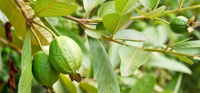 17 bénéfices étonnants que les feuilles de goyave ont sur la peau, les cheveux et la santé