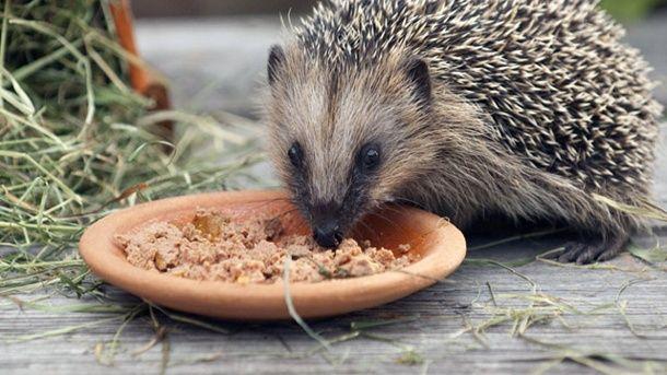 Igel fressen gerne Dosenfutter für Haustiere (Quelle: imago/blickwinkel)