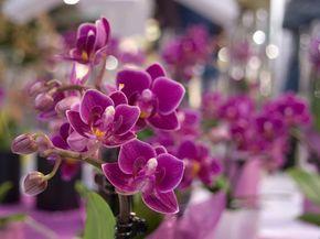 Ce trebuie să faci după ofilirea florilor orhideei Phalaenopsis