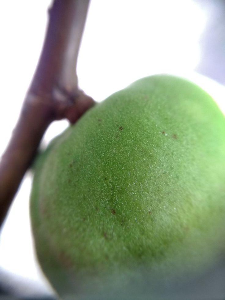 Fruto de albaricoque