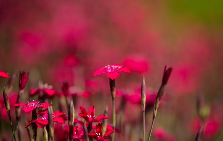 Скачать обои китайская гвоздика, поле, сад, луг, раздел цветы в разрешении 2048x1292