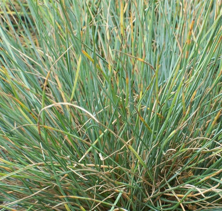 60 best images about grasses on pinterest perennial for Ornamental grass that looks like wheat