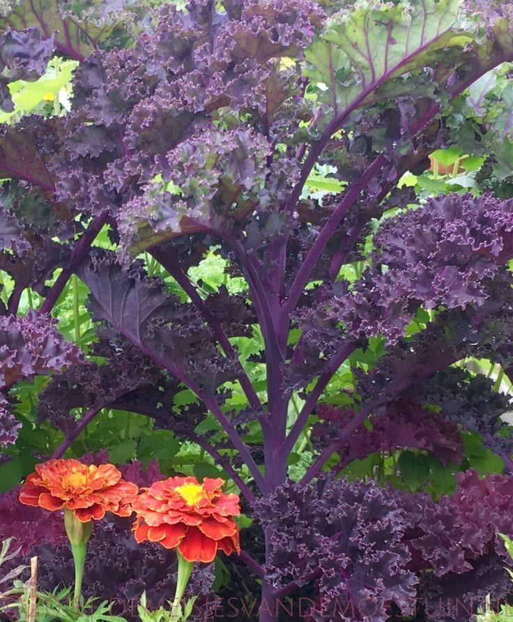 paarse boerenkool