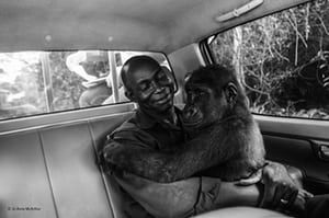 Pikin and Appolinaire by Jo-Anne McArthur, Canada 'Pikin, a lowland gorilla, had been captured and was going to be sold for bushmeat but was rescued by Ape Action Africa. Jo-Anne took this photograph as the gorilla was being moved from her former enclosure within a safe forest sanctuary in Cameroon ... She was first sedated, but during the transfer to the new enclosure she awoke. Luckily, she was not only very drowsy, but she was also in the arms of her caretaker, Appolinaire Ndohoudou, and…
