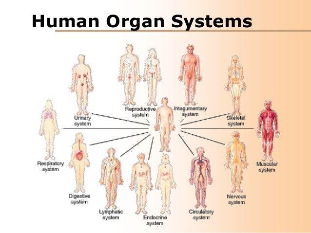 Human Body Organ System - Lessons - Tes Teach | study | Human body