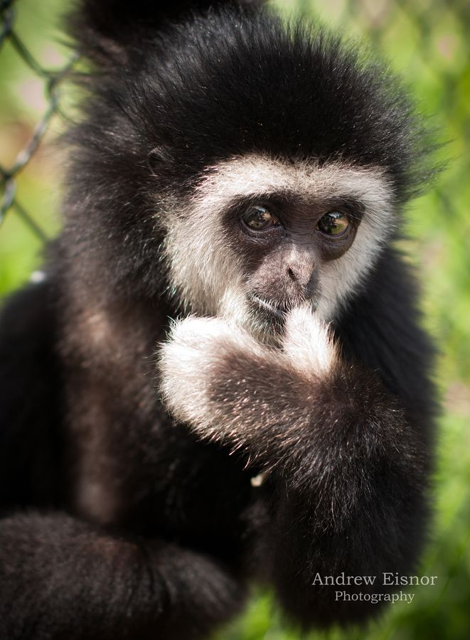 17+ best images about Primates/ The lesser Apes on ...