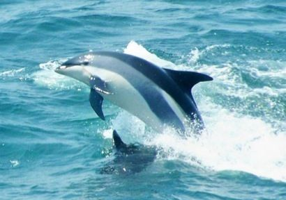 atlantic white sided dolphins | Atlantic white-sided dolphin