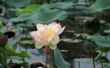 Mt Penang Gardens - lotus flower in bloom