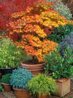 Japanese Maple Container Terra Cotta Garden Design Calimesa Ca