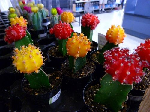 the  best grafted cactus ideas on   outdoor cactus, Natural flower