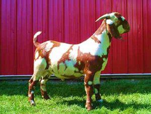 MAX Boer Goats :: The Art of Breeding Spots and Dapples: Dapples